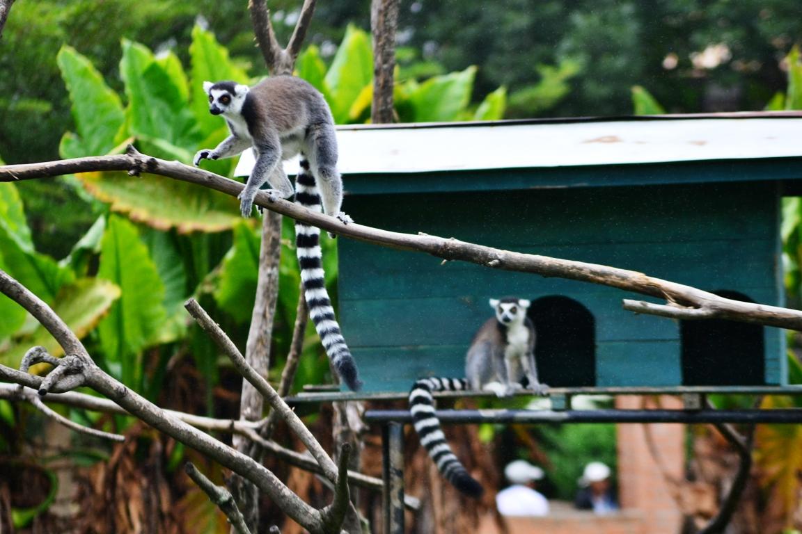 Maki lemur catta