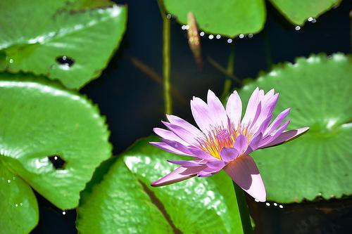 fleur maurice