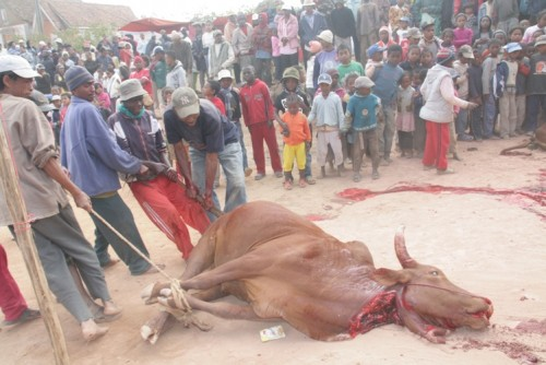 Sacrifice du zebu, photo Rabetsihala