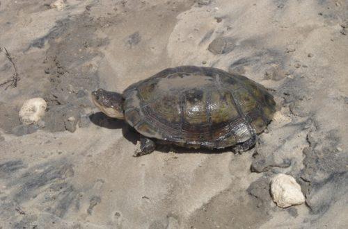 Article : Non, les tortues saisies n'ont rien à voir avec la France