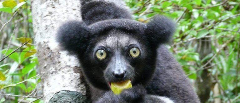 Article : Madagascar : les poils du front