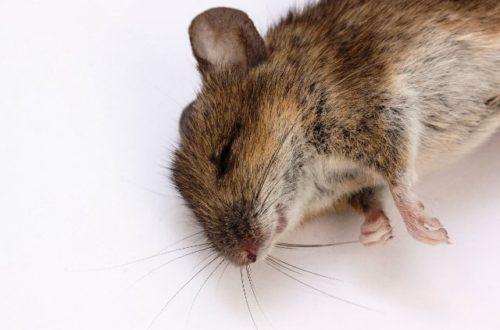 Article : Le communiqué du Ministère Rat de la santé sur la peste à Odag à Madagascar